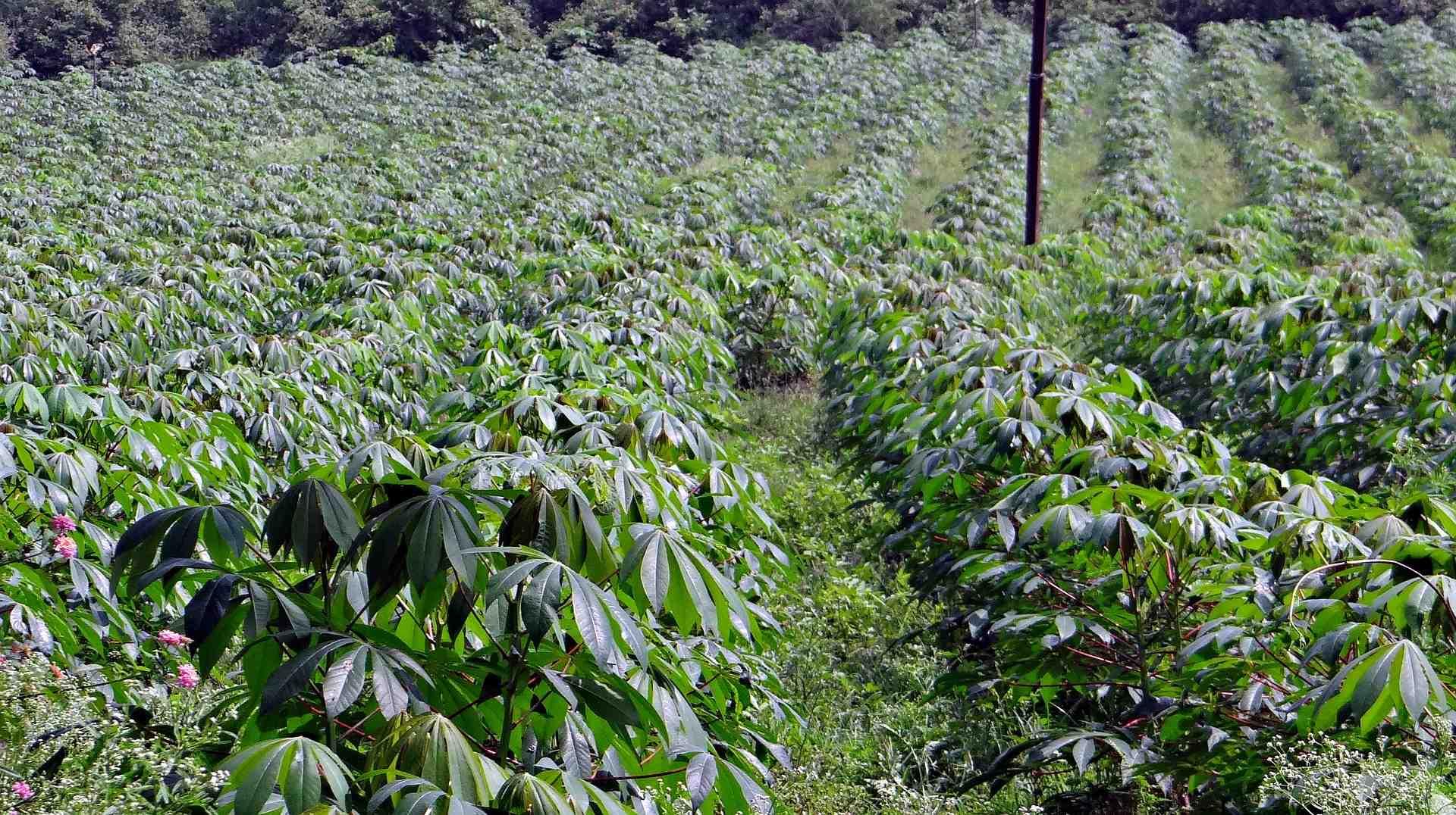cassava-346887_1920